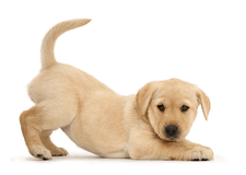 Cute Yellow Labrador puppy in play-bow