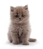 Male Blue longhair Persian kitten, 7 weeks old