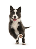 Blue-and-white Border Collie pup running forward