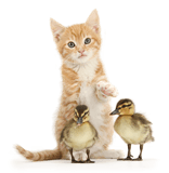 Ginger kitten and Mallard ducklings