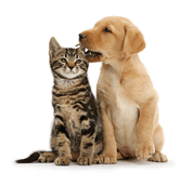 Cute Labrador puppy whispering in the ear of tabby kitten