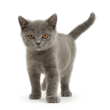 Blue British Shorthair kitten standing
