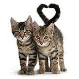 Smitten kittens - tabby kittens tails forming a heart on pink