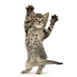 Small tabby kitten dancing YMCA