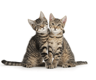 Smitten Kittens - Tabby kittens sitting together