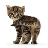 Cute tabby kitten standing and looking round