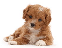 Cute red-and-white Cavapoo puppy