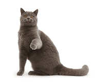 Blue British Shorthair cat sitting and pointing paw