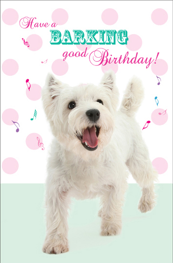West Highland White Terrier, Betty, walking, white background