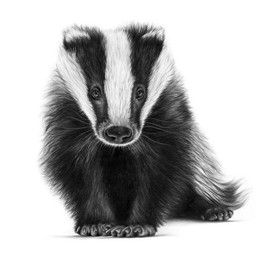 Young Badger (Meles meles), white background
