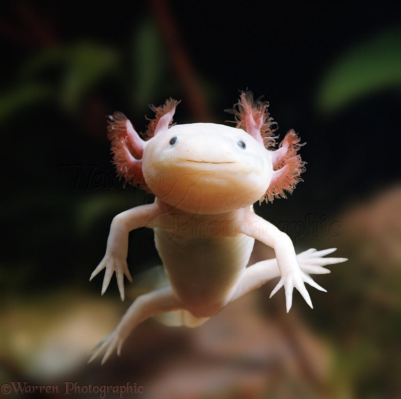 00108-Albino-Axolotl.jpg