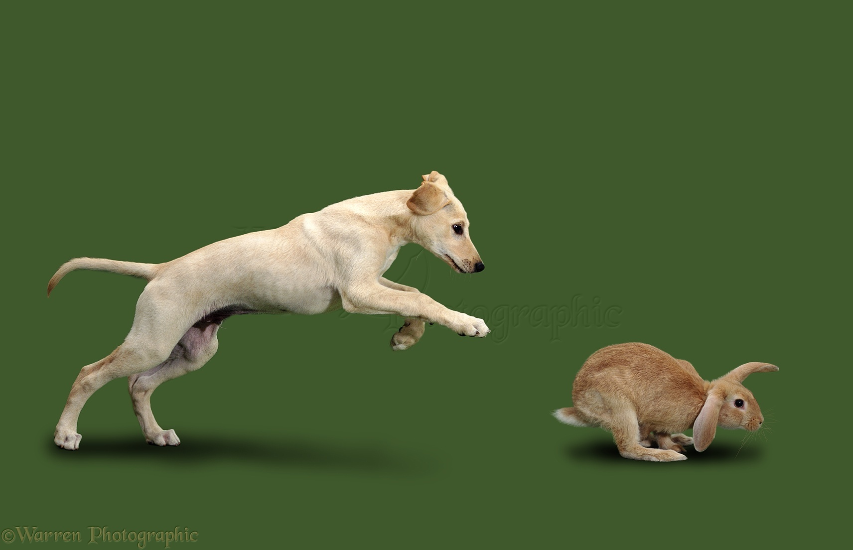 Pets: Saluki Lurcher pup chasing a rabbit photo - WP00182
