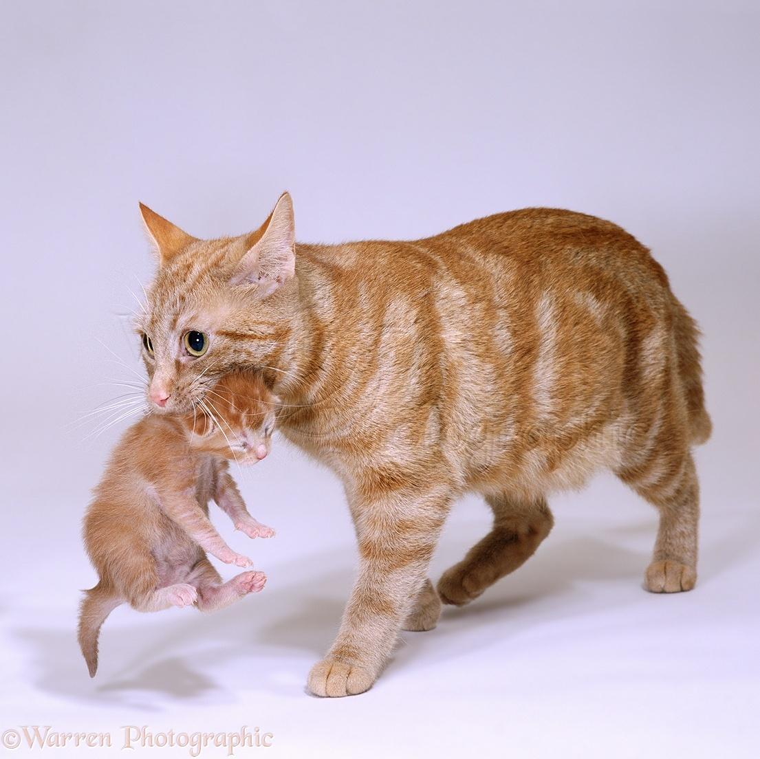Cat Carrying New Kitten