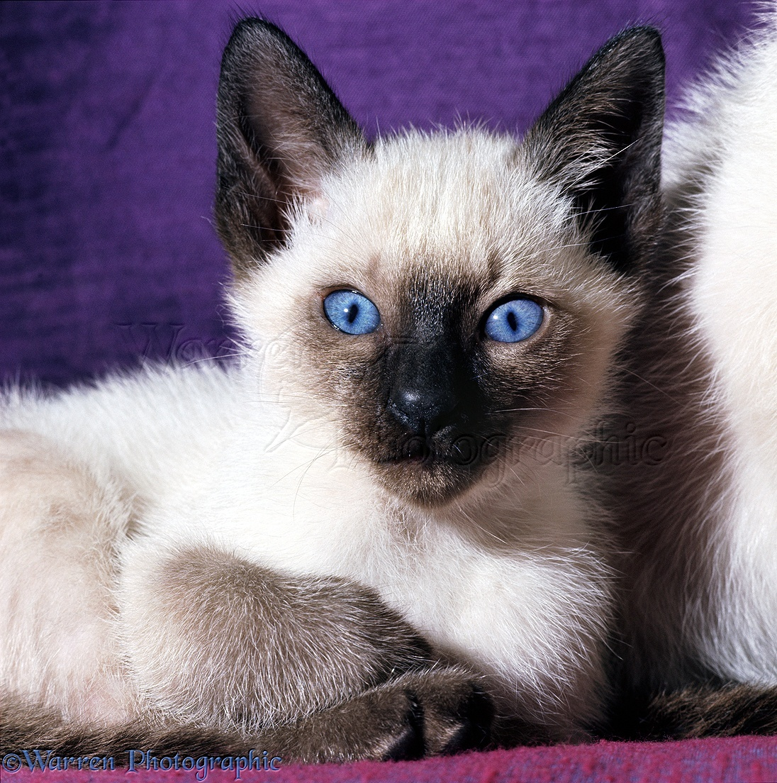 Blue-eyed kitten