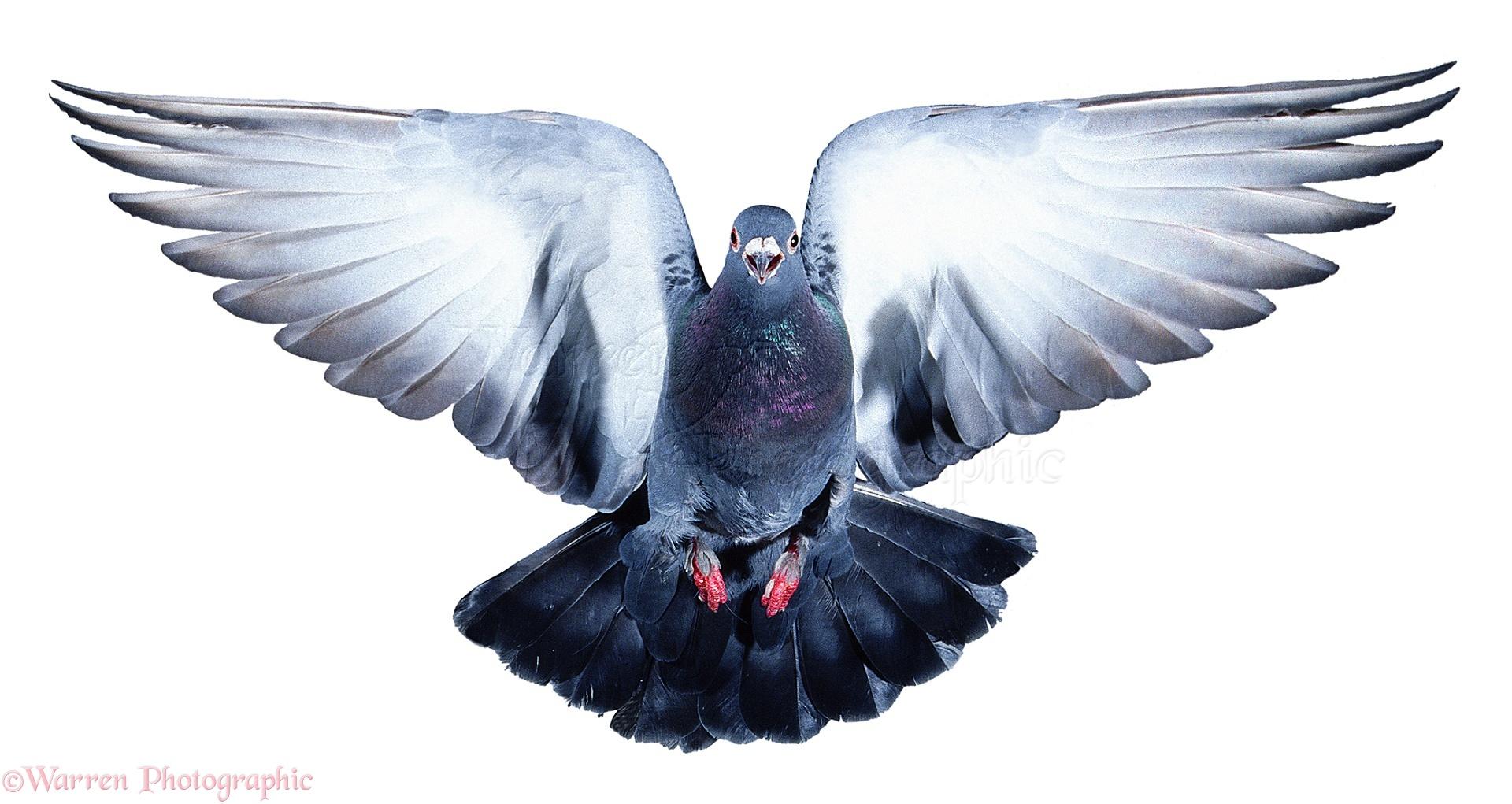 WP00376 Street Pigeon ( Columba livia ) taking off.