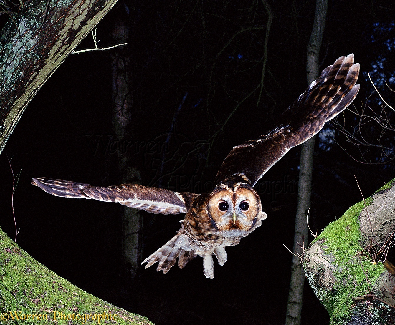 Tawny Owl flying from Chestnut tree photo WP00421
