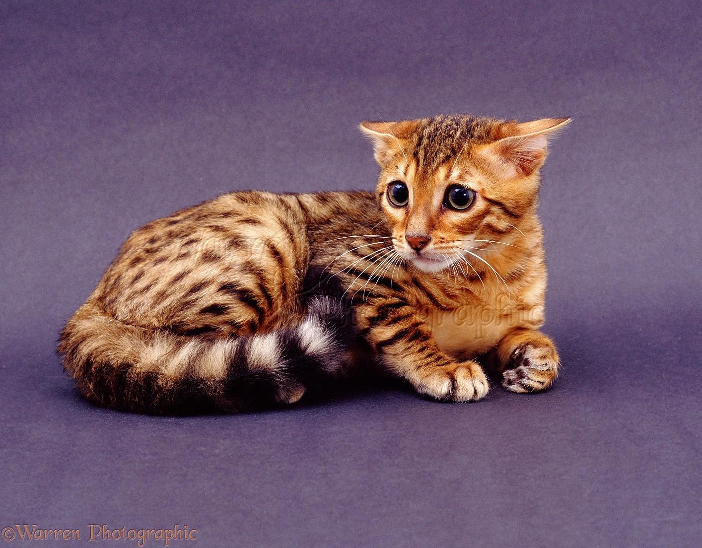 Timid Cat Breeds