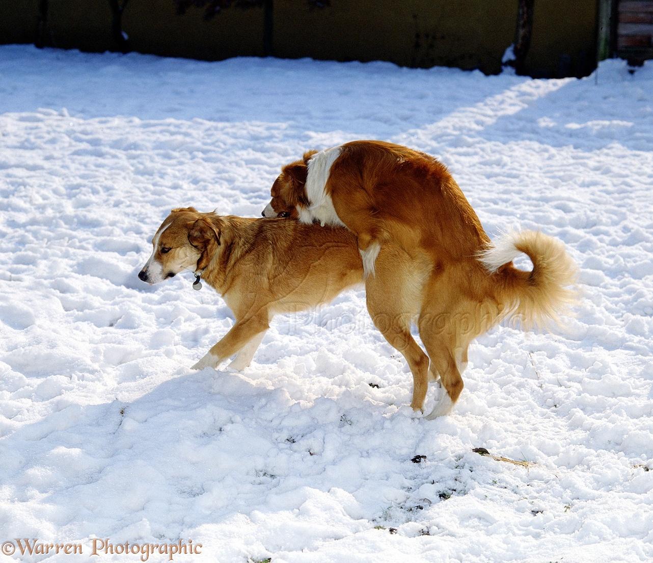 Mating Dog Breeding