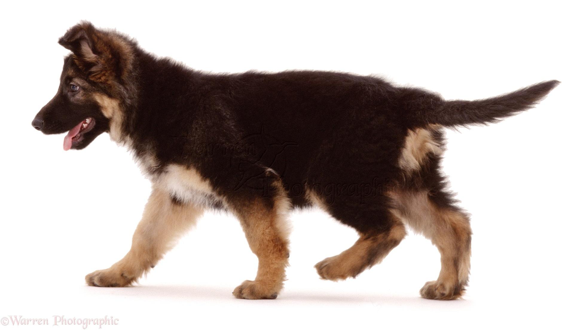 Dog Alsatian Puppy