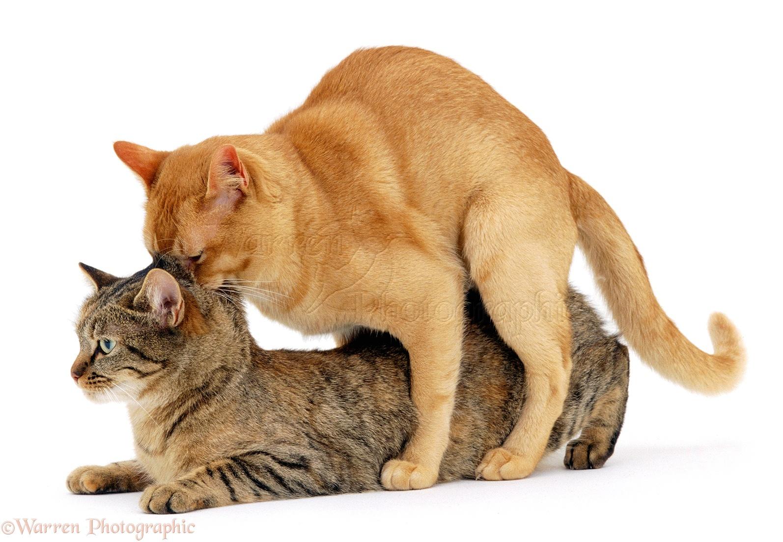 Cats Mating Photo Wp00631