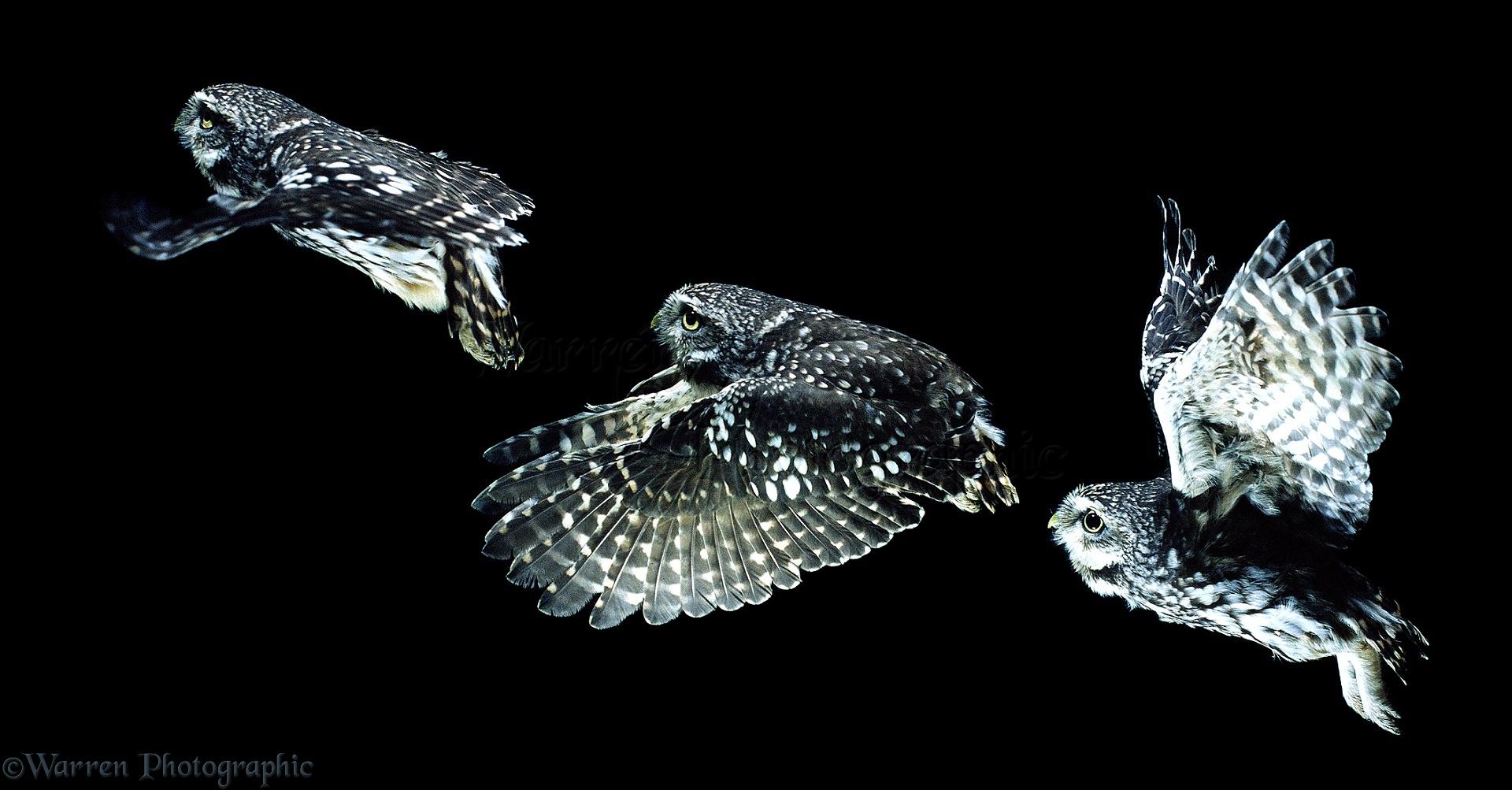 WP00637 Little Owl ( Athene noctua ) in flight. Multiple exposure.