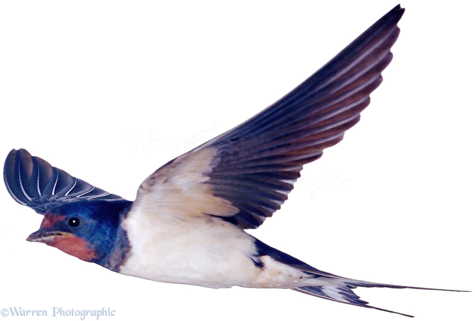 WP00747 Swallow ( Hirundo rustica ).