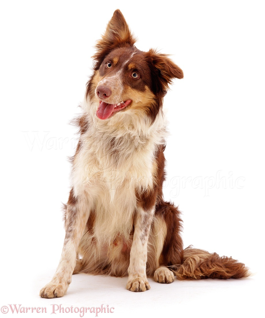 border collie dog sitting photo   wp00794