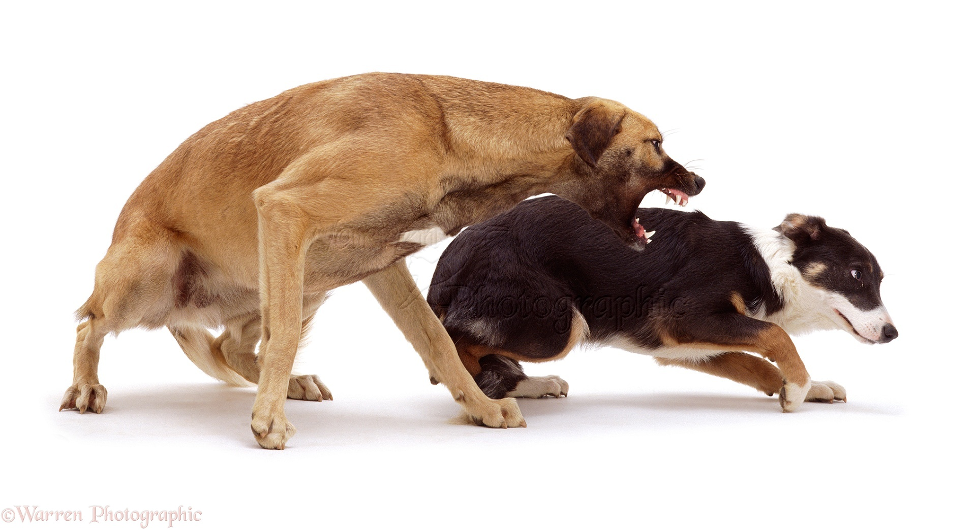 Aggressive  Year Old Dog