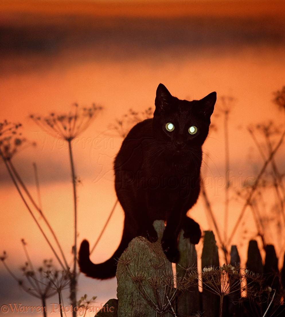 the black cat a reflection of The black cat is a short story by american writer edgar allan poe it was first published in the august 19, 1843, edition of the saturday evening post.