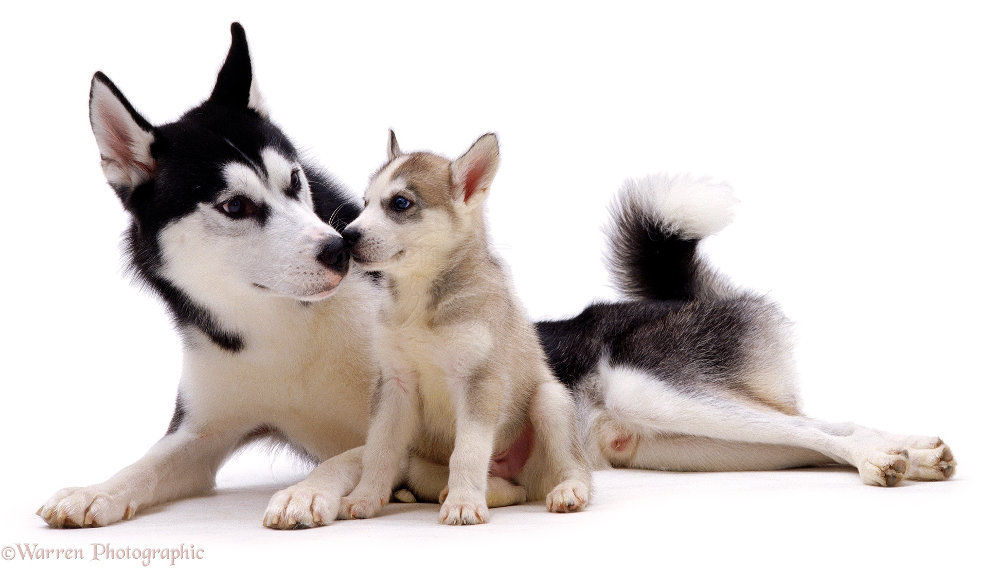 Related Pictures day old husky puppies our siberian huskies had their ...