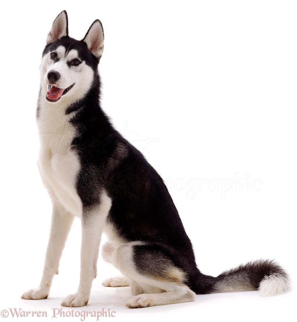 Wp01046 siberian husky dog ash