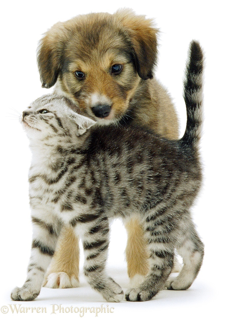 Silver Tabby Kitten And Border Collie Cross Puppy Dylan Playing White Background