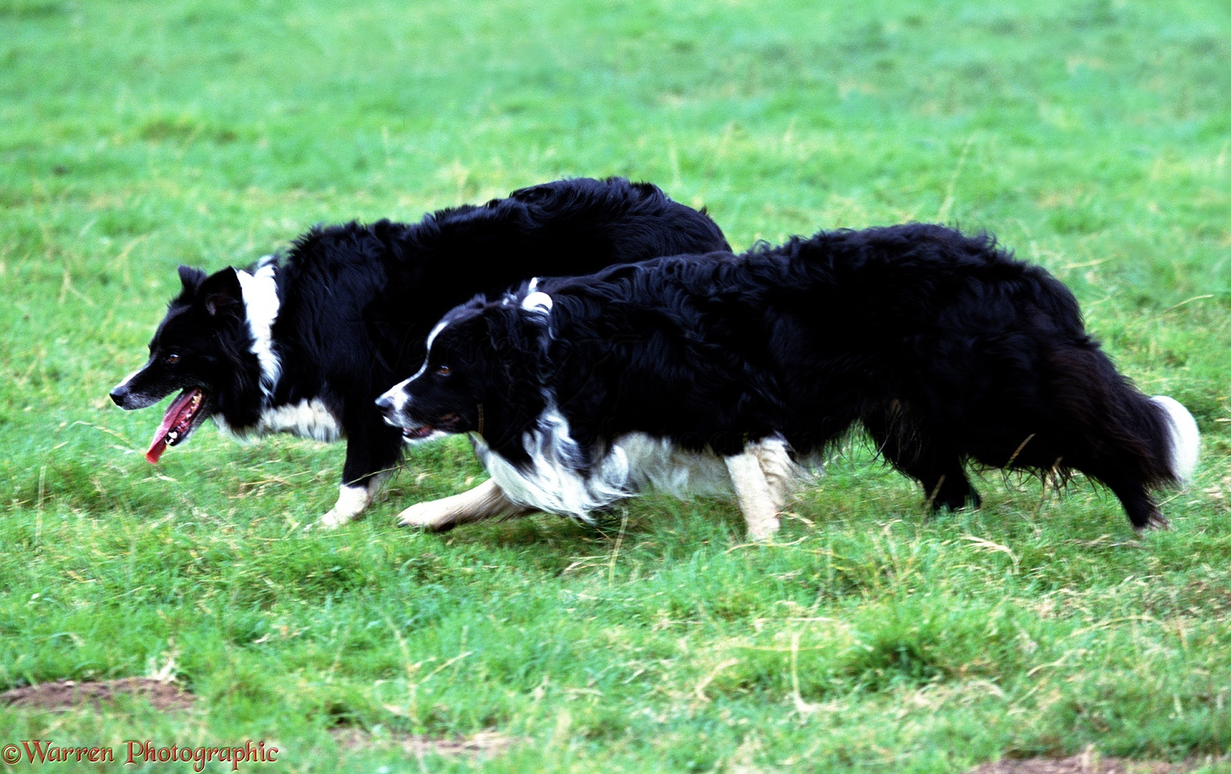 border collie wallpaper uk