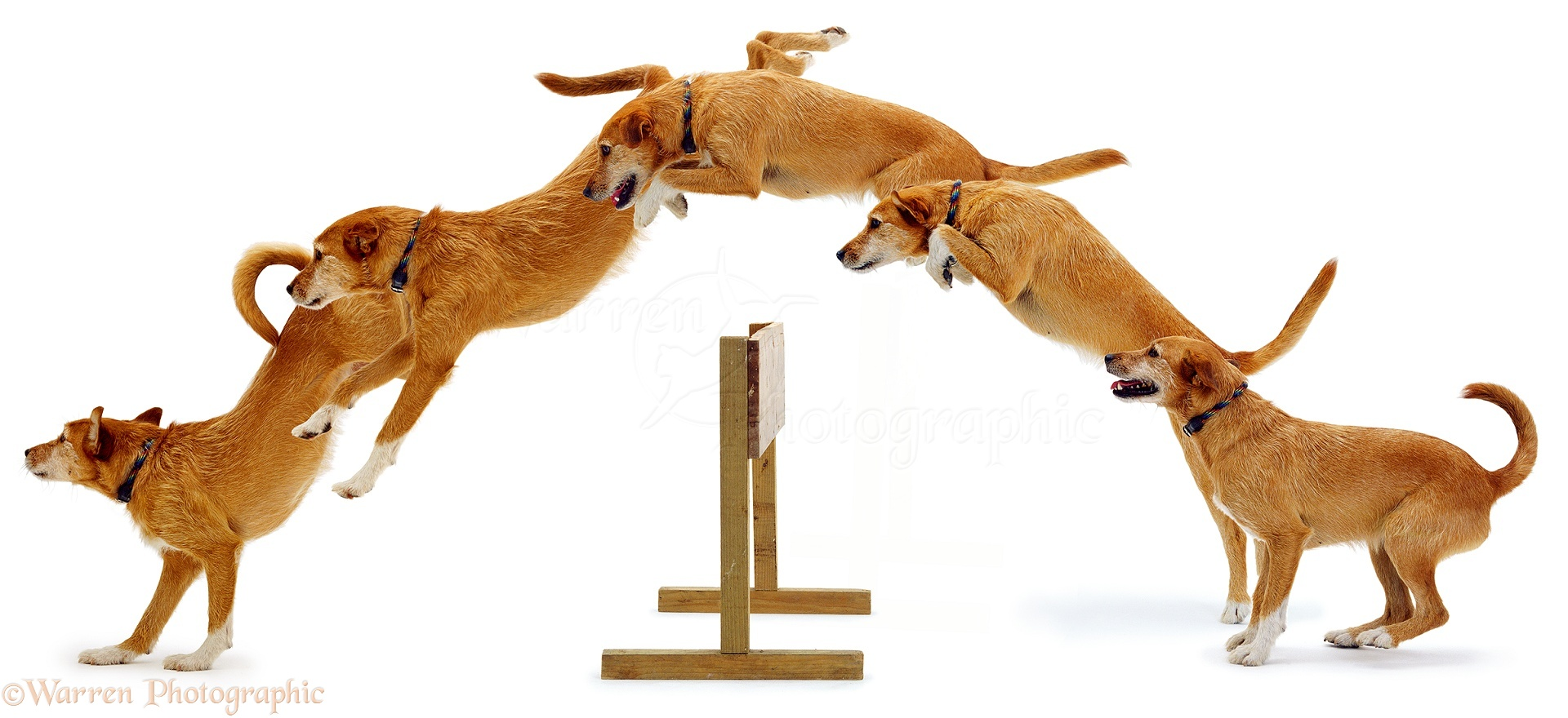 01129-Dog-jumping-multiple-image-white-b