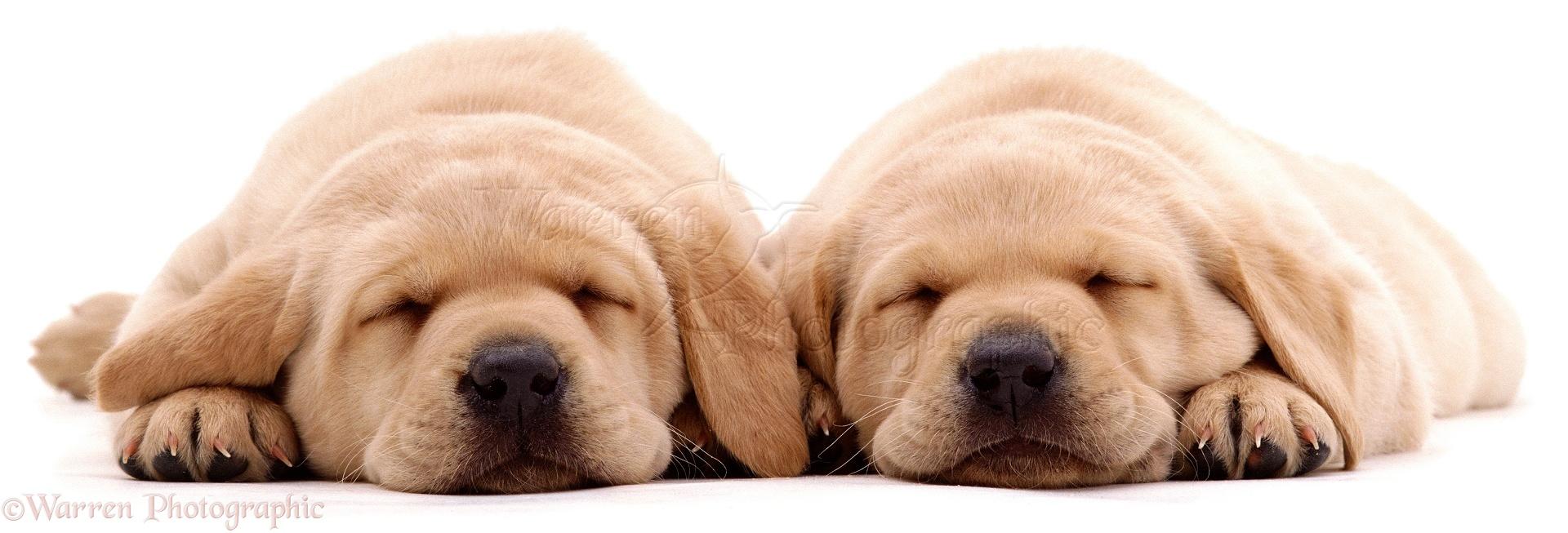 yellow lab puppy sleeping - photo #32