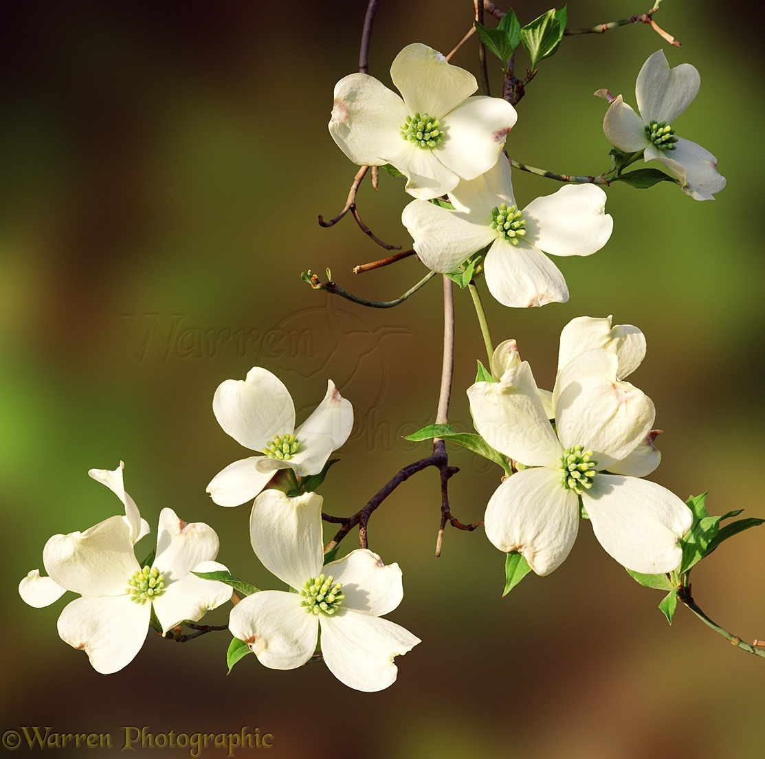 Dogwood flowers photo wp01170 mightylinksfo