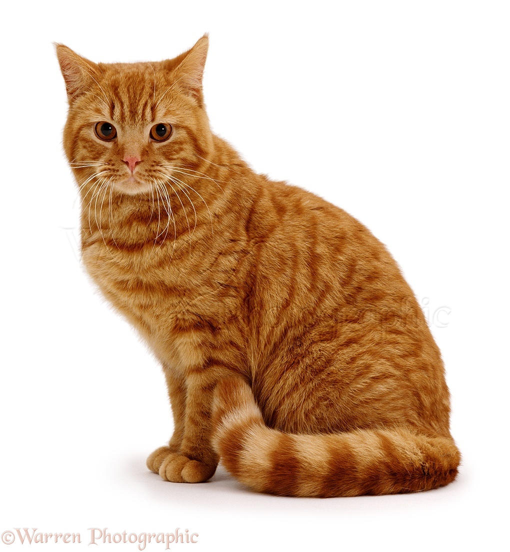 Wp01181 British Shorthair Red Spotted Male Cat Highlander Cute