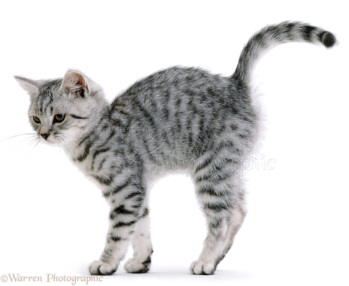 Spotted Cat Back