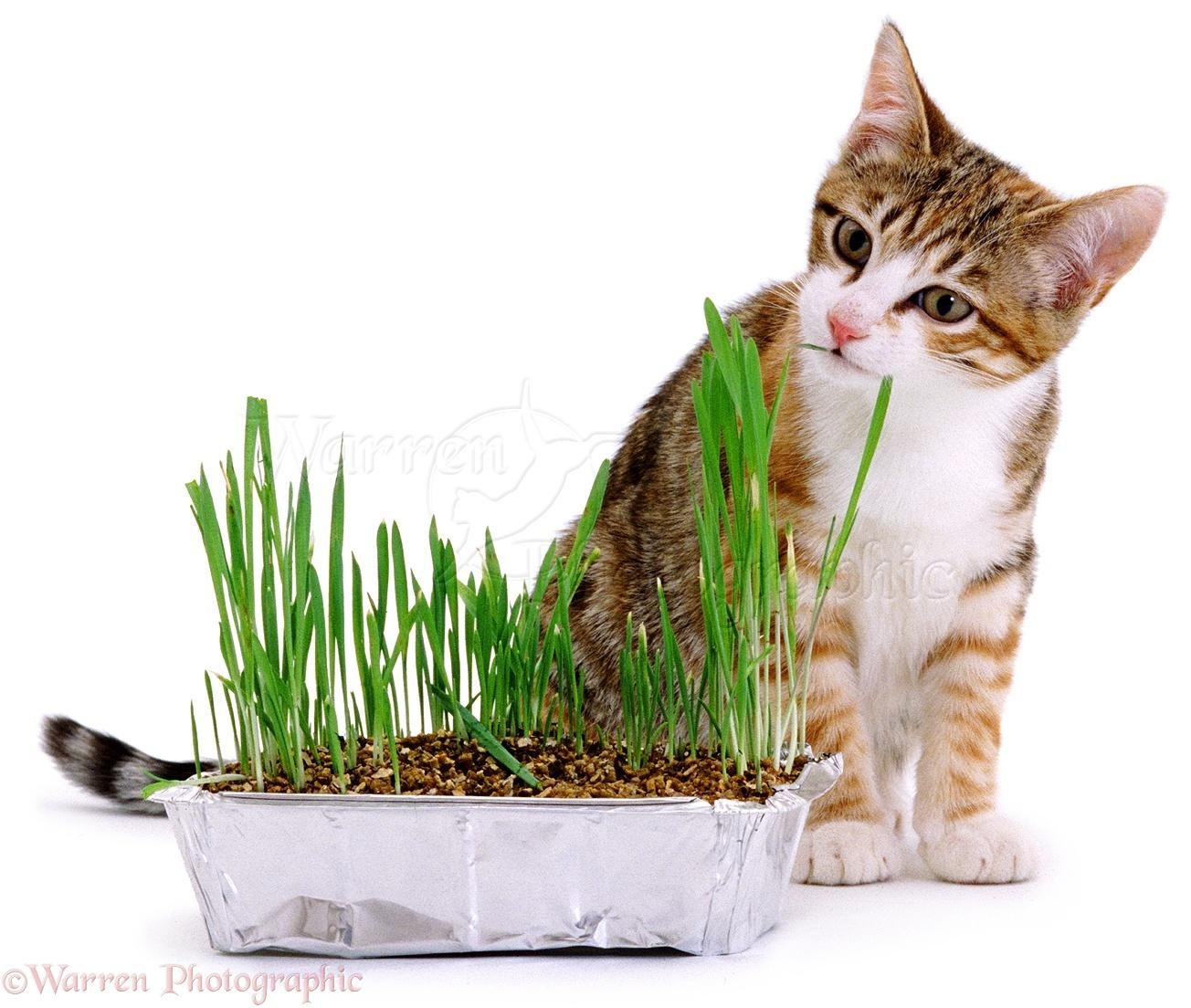 Indoor Cat Grass