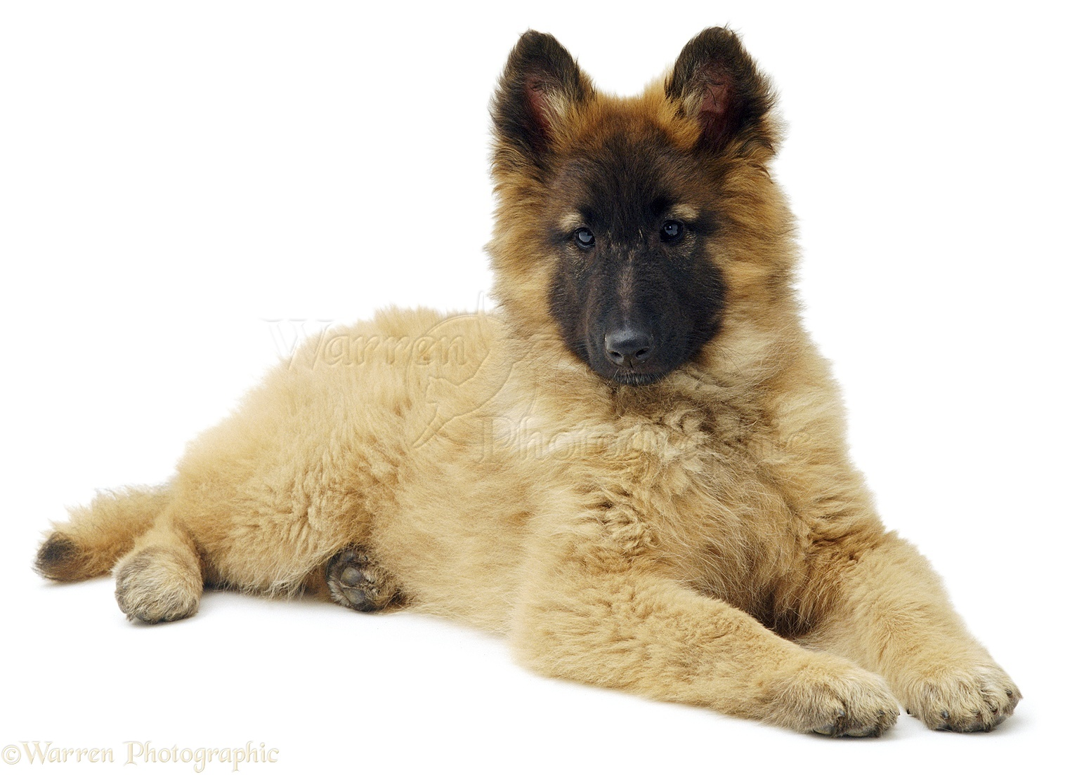 Alsatian puppy photo - WP01254