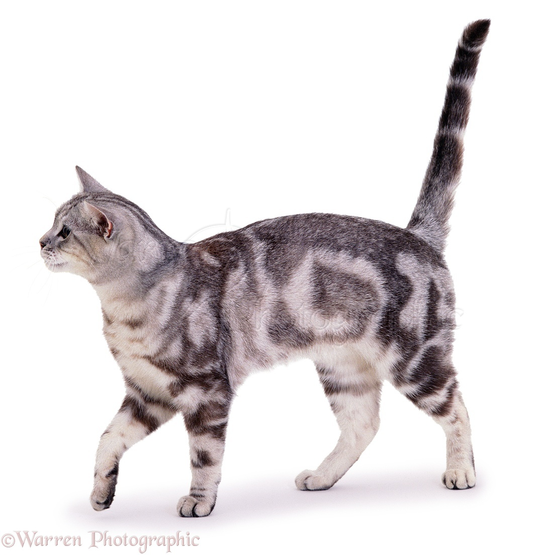 Gray Tabby And White Cat