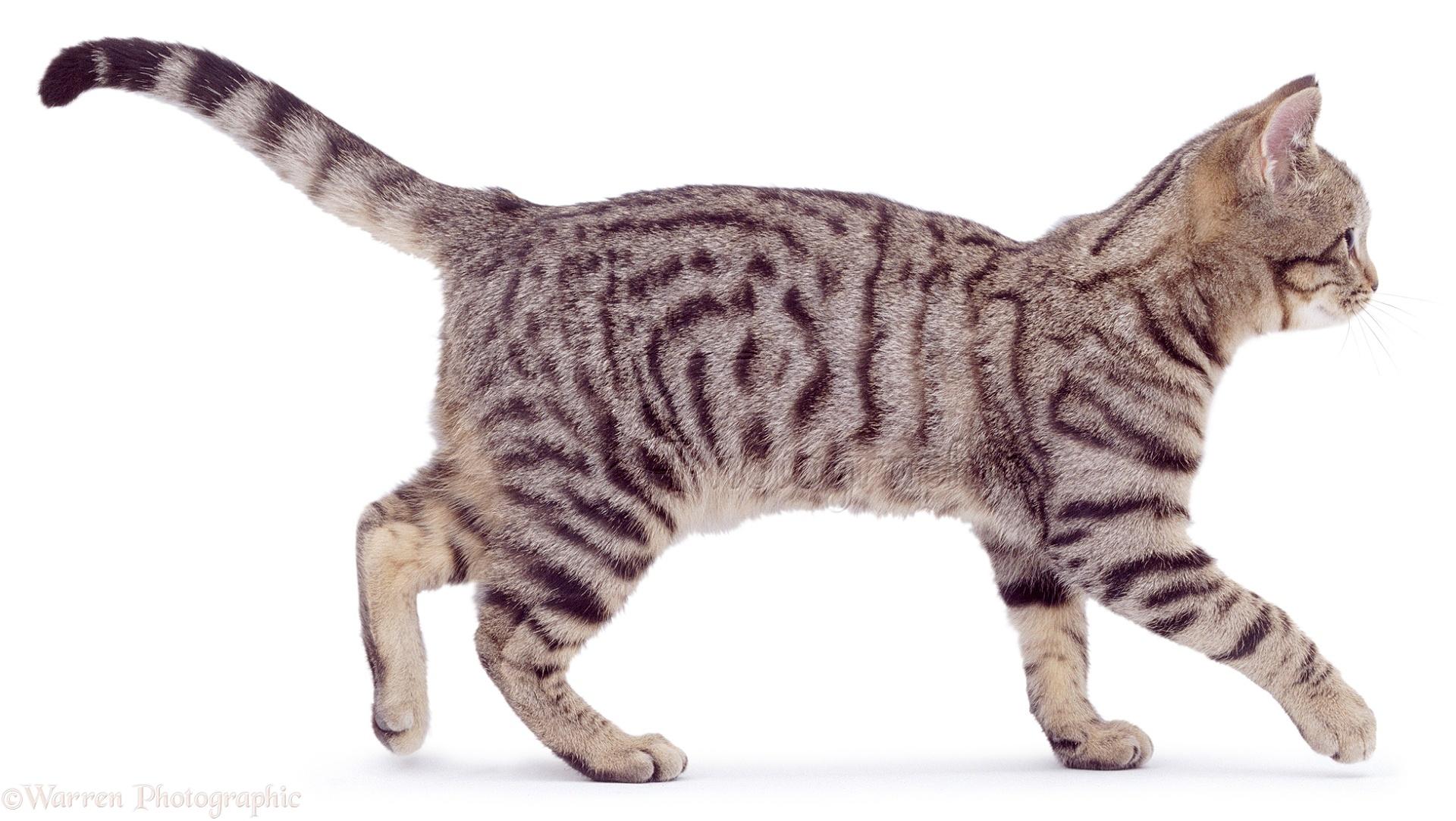 tiger tabby cat