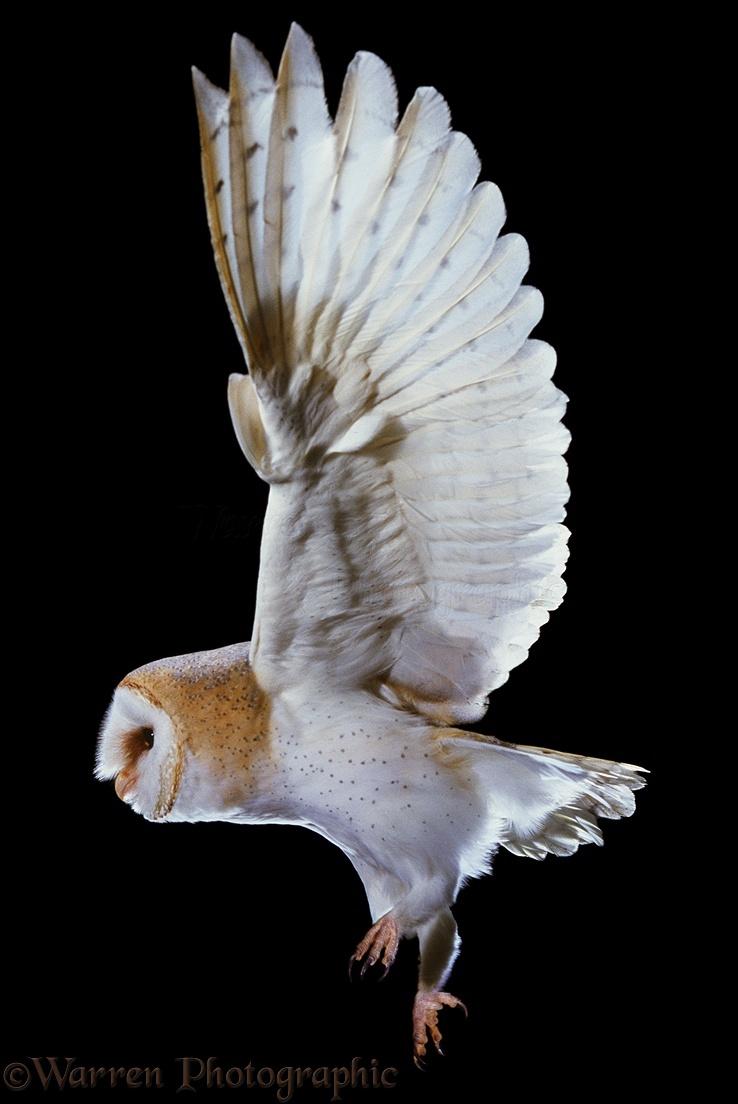 Barn Owl Taking Off WP01332 Barn Owl taking off