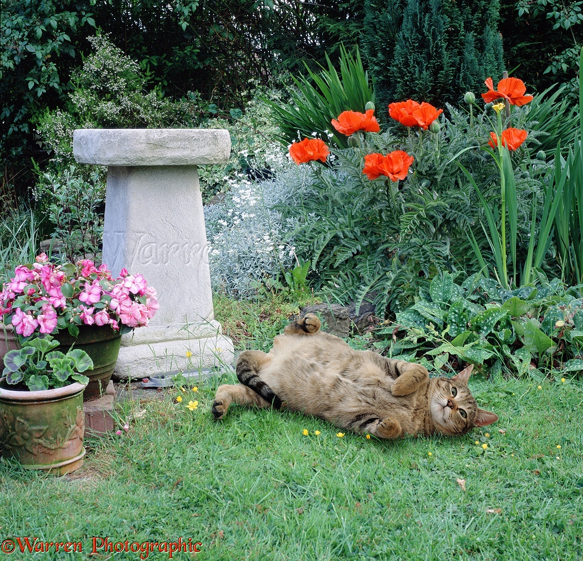 A Happy Tabby Cat Rolling On A Garden Lawn
