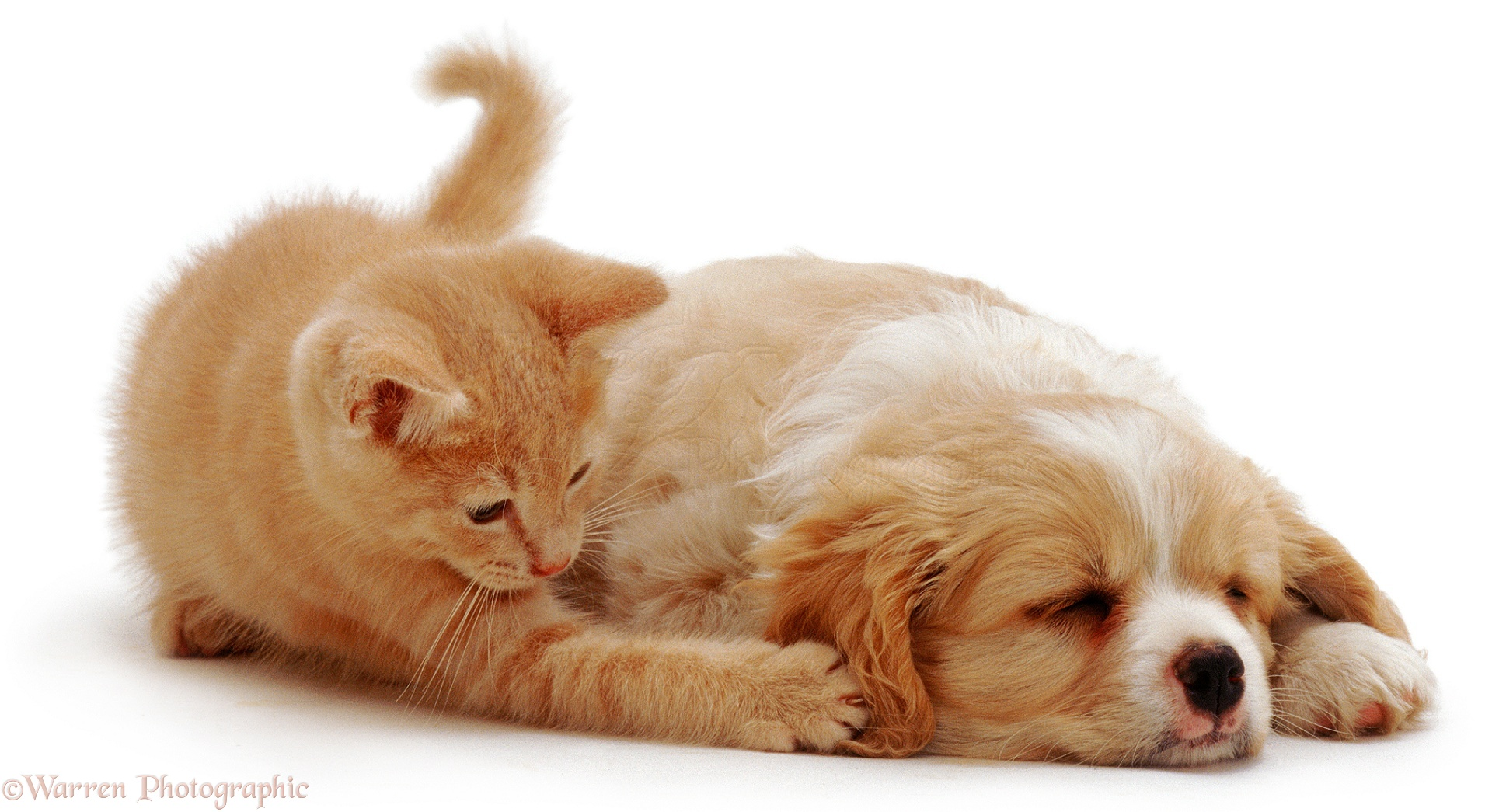 Pets Ginger Kitten Playing With Pups Ear Photo Wp01434