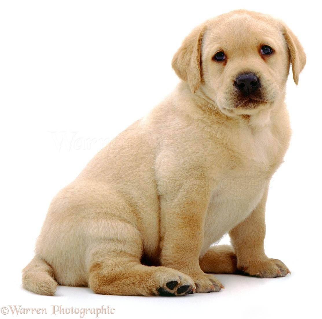 Dog Yellow Labrador Pup Photo Wp01536