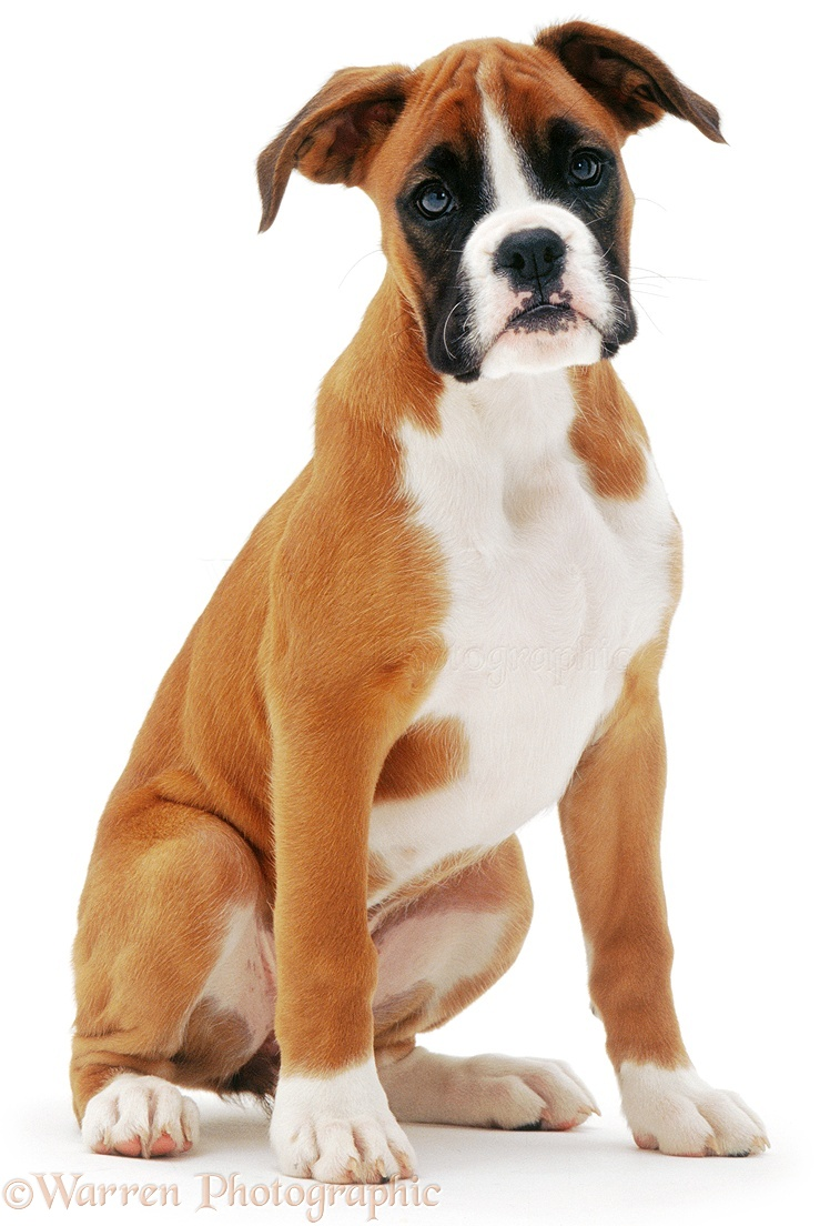 Available European Boxer Puppies for Sale