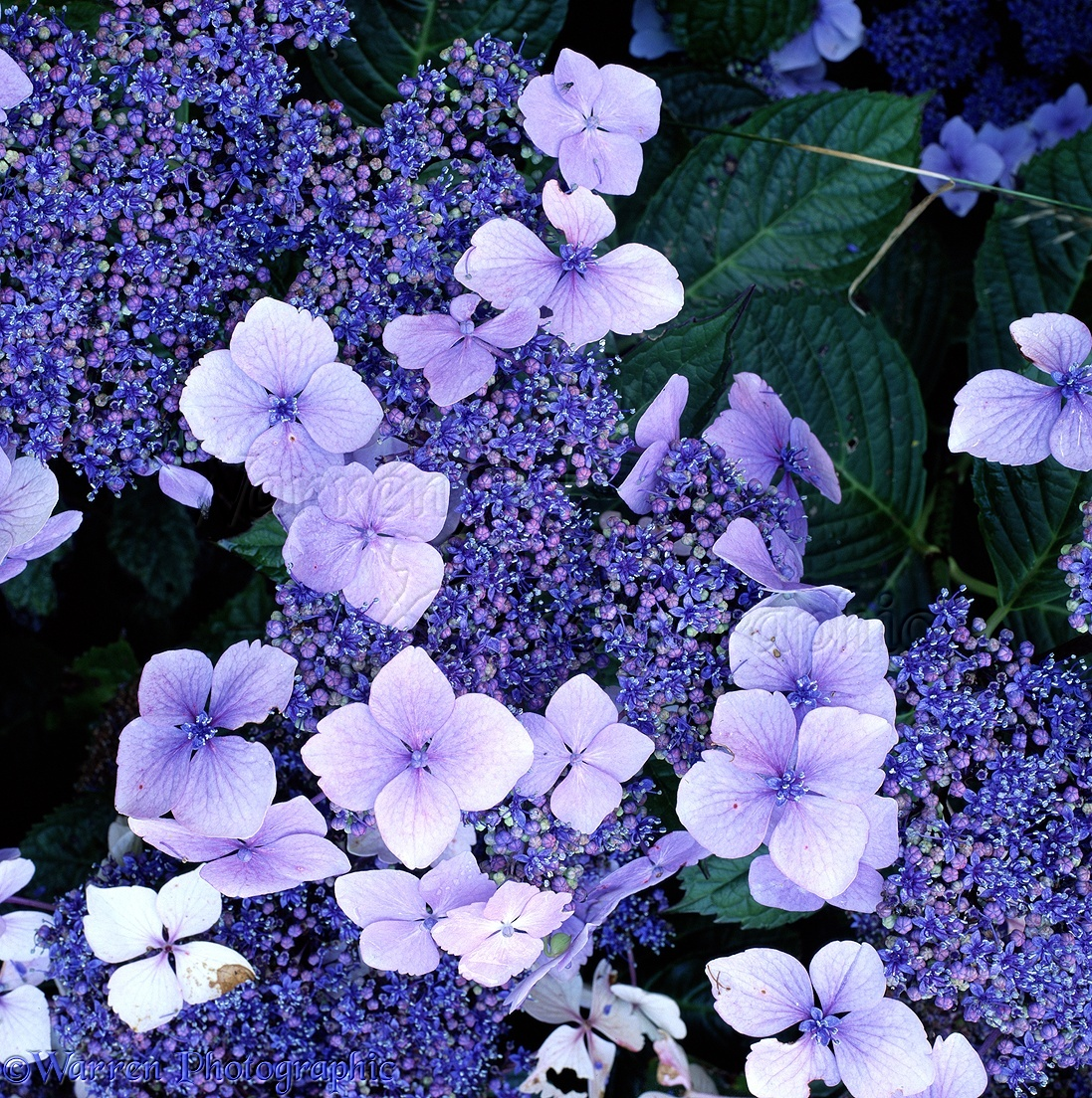blue hydrangea flowers photo  wp, Beautiful flower
