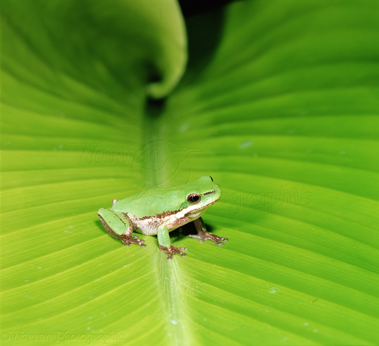 Green frog on a green leaf photo WP01682