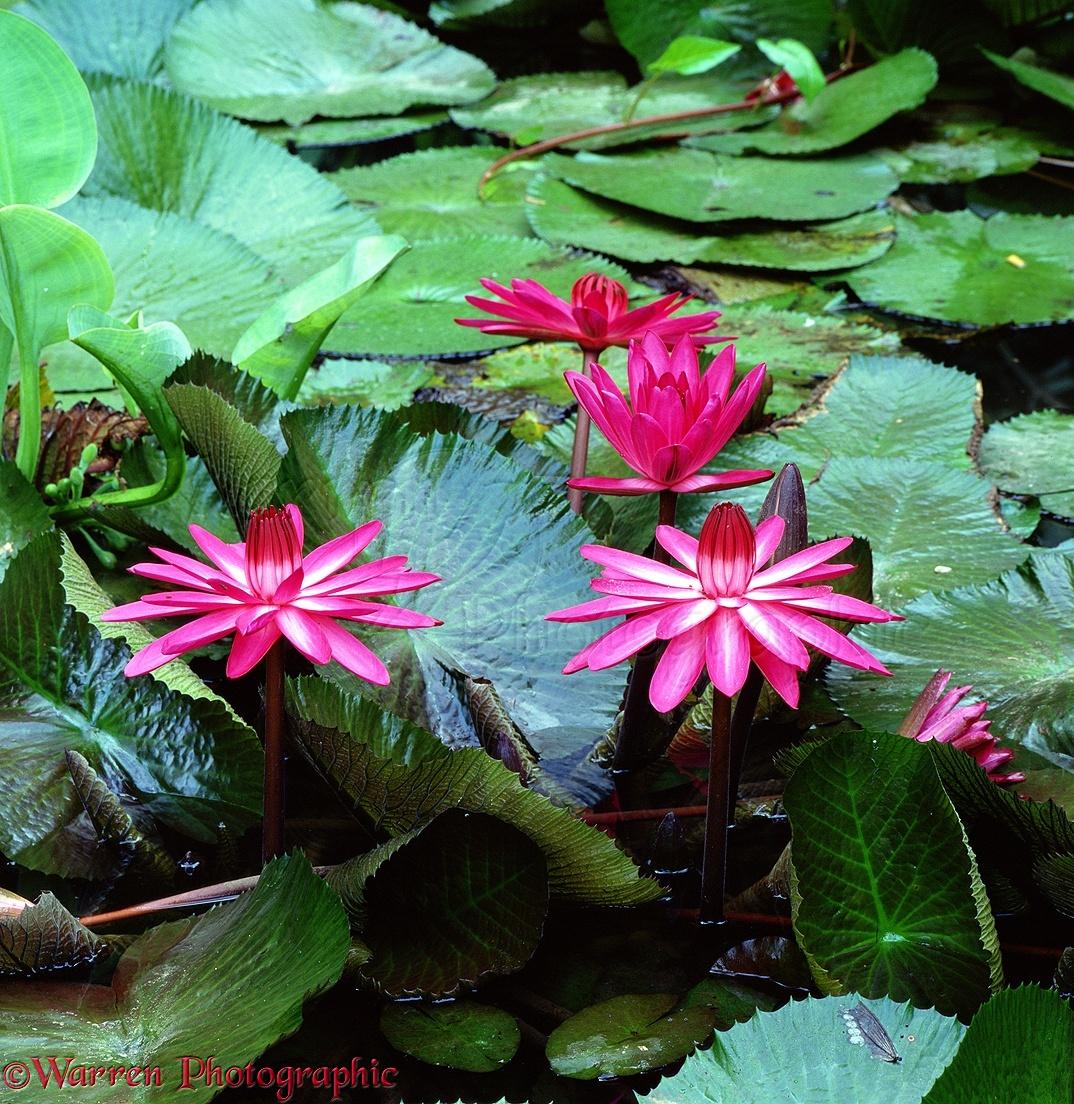 Lotus flowers at danum valley borneo